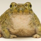 Couch's Spadefoot Toad at Los Angeles Zoo Los Angeles, CA #Kids #Events