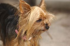 Typical Yorkshire Terrier health issues that develop from a poor diet include diabetes, blood diseases, pancreas problem, liver problems, kidney damage and even death. Yorkshire Terrier Toy, Miniature Yorkshire Terrier, Yorkshire Terrier Haircut, Yorky, Purebred Dogs, Yorkie Puppy, Small Dog Breeds, Best Dogs, Photos
