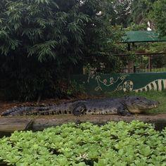 Explore the animal world at Crocolandia in Biasong, Talisay City, Cebu, Philippines. Managed by the Crocolandia Foundation, Inc. Crocodiles, Places Of Interest, Cebu, Philippines, Marvel, Explore, World, Crocodile, The World