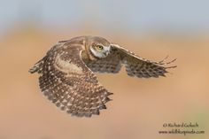 Newly fledged Burrowing Owl Chick in flight. by Richard Goluch on 500px
