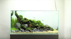 60cm nature planted aquarium