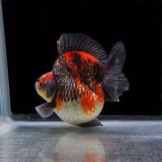 Ryukin Gold Fish 26
