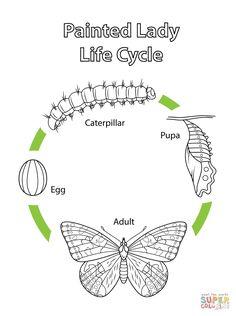 Lebenszyklus eines Distelfalters   Super Coloring