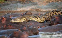 Hipopotamo vs cocodrilo yahoo dating