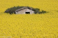 Cabanon colza drome drôme fleurs http://www.rando-drome.com/