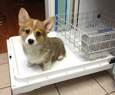 Corgi pup helps with the dishes! Cute Corgi Puppy, Corgi Dog, Cute Dogs And Puppies, I Love Dogs, Funny Puppies, Lab Puppies, Pomeranian Puppy, Husky Puppy, Cute Baby Animals