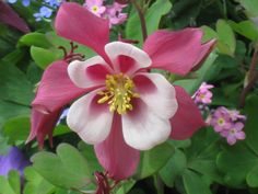 Columbine flowers are frequently used for clients planter beds and interesting containers.  The flowers are interesting and long lasting in the cool temps.  Foliage stays interesting even when the flowers pass.  Our clients love these!