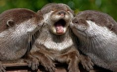 Double otter kiss!
