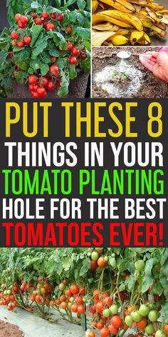 Put These 8 Things In Your Tomato Planting Hole for Awesome Yield Instead of rushing to a store, you can have a bumper harvest of tomatoes. 8 Things to Keep in Tomato Planting Hole to Grow Juicy and Sweet Tomatoes Who doesn't love to grow surplus tomatoes Backyard Vegetable Gardens, Veg Garden, Garden Types, Garden Care, Edible Garden, Garden Beds, Lawn And Garden, Garden Tomatoes, Planting A Garden