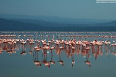 Pink flamingos dazzle the eyes in Kenya at places like Lake Nakuru..