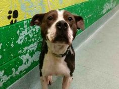 Brooklyn Center LALA – A1053917  FEMALE, BLACK / WHITE, PIT BULL, 2 yrs STRAY – STRAY WAIT, NO HOLD Reason STRAY Intake condition UNSPECIFIE Intake Date 10/06/2015, From NY 11213, DueOut Date 10/09/2015, Urgent Pets on Death Row, Inc