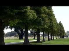 ▶ Bald cypress trees in Louisiana landscapes - YouTube