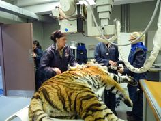 Les radiographies du tigre!