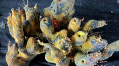 Un corail extrait du récif corallien trouvé sous le panache de l'Amazone