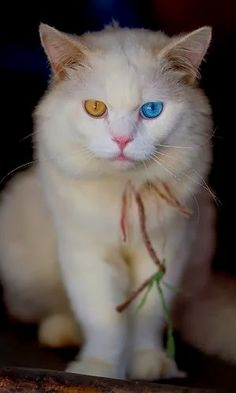 Turkish Angora Cat with different eye colors