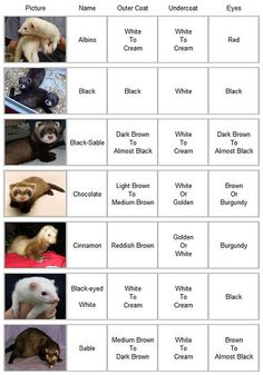 Different Kinds of Ferrets | Plowing Through Life: Fuzzy Colours