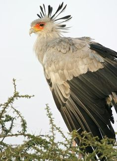 The secretary bird derives its name from its long crest ...