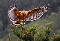A Photo Guide to Beautiful Birds of Prey Birds Of Prey, Flying Birds, Funny Bird Pictures, Owl Pictures, Images Photos, Photo Animaliere, Most Beautiful Birds, Beautiful Butterflies, Red Tailed Hawk