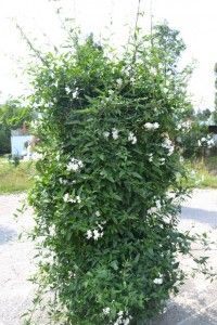 Lilek jasmínový