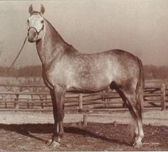 Fadl (Ibn Rabdan x Mahroussa) A 1930 Egyptian Arabian stallion that was the sole stallion imported from the desert by Henry Babson. All Babson horses to this day carry a considerable amount of his blood.