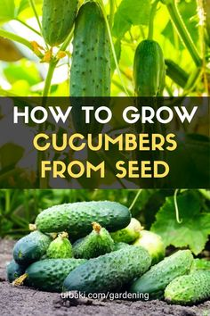 In this video, I will teach you how to grow Cucumbers from Seeds and show you how to transplant, aftercare for the seedlings, and how to treat any diseases once they are grown. #urbakigardening #gardening #cucumbers #cucumbertrasplant #cucumberseeds #growcucumbers