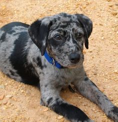 """The Louisiana Catahoula Leopard Dog or Catahoula Cur is an American dog breed. It is named after Catahoula Parish in the state of Louisiana in the United States. The Catahoula is believed to have occupied North America the next longest after the dogs descended from Native American-created breeds. It is also called the ""Catahoula Hog Dog"", reflecting its traditional use in hunting wild boar."""