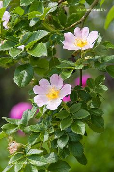 Wild rose (Rosa canina) - A rose is a woody perennial of the genus Rosa, within the family Rosaceae. There are over 100 species and thousands of cultivars.