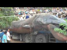 """Unexplained"" Vietnam monster: Some sites claim the creature was dug out of the ground, but the video doesn't show anything like that. It is usually claimed to be some kind of giant unidentified sea monster when, more likely, it's known species of small whale known as the ""Fin"" whale."