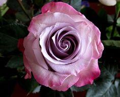Purple Haze - Standard Rose - Roses - Flowers by category   Sierra Flower Finder