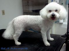 Weezy-(Bichon)Pet Style with Poodle ears and Japenese style head http://www.gooddogsspaandstudio.com