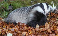 Лесные животные запасают жиры не просто так. Сама природа предусмотрела для них возможность резервировать жизненно важные вещества на долгие месяцы спячки. Барсук – один из самых запасливых в этом плане: по словам опытных охотников, с одной тушки получают окол�