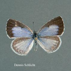 Celastrina neglecta (Dennis Schlicht)