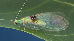 Crisopa verde descoberta no Flickr