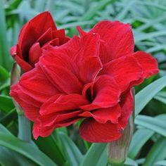 Amaryllis 'Amarantia' - ein wunderschöner roter Ritterstern mit blau-grünen Blättern. Die Zwiebeln werden im Winter in Töpfe gepflanzt und bringen wenig später Farbe ins Wohnzimmer. Bestellbar bei www.fluwel.de