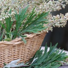 Shop for Mugwort Seeds by the Packet or Pound.Com offers Hundreds of Seed Varieties, Including the Finest and Freshest Culinary Herb Seeds Anywhere. Herbs For Health, Small White Flowers, Marijuana Plants, Herb Seeds, Herbaceous Perennials, Medicinal Herbs, Hydroponics, Flowers, Women's Coats