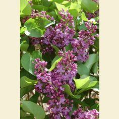 Syringa vulgaris 'Prairie Petite' - Prairie Petite Common Lilac