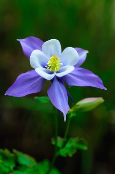 ~~Rocky Mountain Columbine - Aquilegia caerulea by Matthew Graham~~ - Gardening Worlds Beautiful Flowers Photos, Exotic Flowers, Amazing Flowers, Pretty Flowers, Purple Flowers, Wild Flowers, Purple Wildflowers, Columbine Flower, Columbine Tattoo