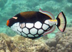 Clown triggerfish by - salt water fish tank Underwater Creatures, Ocean Creatures, Colorful Fish, Tropical Fish, Saltwater Tank, Saltwater Aquarium, Freshwater Aquarium, Fish Art, Fish Fish