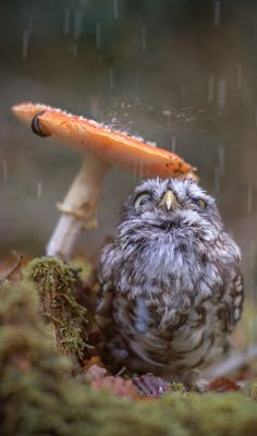 little owl sheltering from the rain under a mushroom