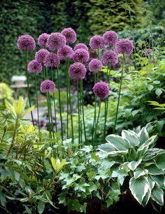 Allium And Hosta Plants Beautiful Flowers Lawn Garden Hosta Plants, Shade Plants, Garden Plants, Outdoor Plants, Outdoor Gardens, Plantation, Shade Garden, Dream Garden, Lawn And Garden