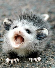 Angry baby opossum- they're cute when they're young but once they grow It's a different story animals Cute Creatures, Beautiful Creatures, Animals Beautiful, Animals Amazing, Beautiful Beautiful, Cute Baby Animals, Animals And Pets, Funny Animals, Wild Animals
