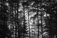 Pine Trunk bw - Wall Mural & Photo Wallpaper - Photowall