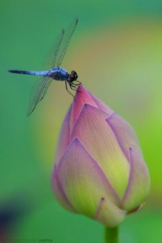 Dragonfly on Bud.