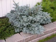 Laadukkaat havupuut Flör Kukka ja Puutarhasta. Plants, Flowers, Plant, Planets