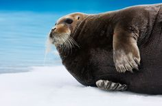 Bearded Seal - An Arctic Adventure in Spitzbergen by Ole Jørgen Liodden #PrincessCruises and #Travel