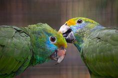 | Blue-cheeked Amazon ( Amazona dufresniana ).