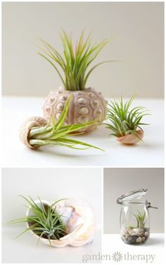 Air plants look wonderful displayed in sea shells!! Add them to terrariums or on their own. Assembly and care instructions for air plants in seashells. #bHomeApp
