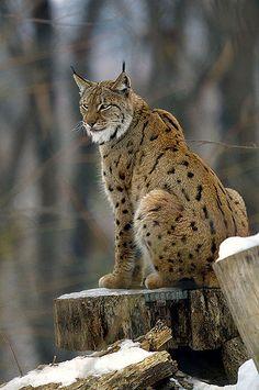 Eurasian Lynx (Lynx lynx). Simply stunning creature. ~~! courtesy of www.canoodlepets.com