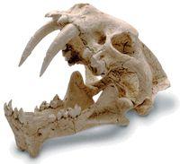 Sabre Tooth Tiger Skull - Prehistoric Fossil Replica