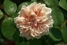 'Gloire de Dijon ' Rose by HelpMeFind.com user Margarita